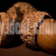 acorn-oak-nut